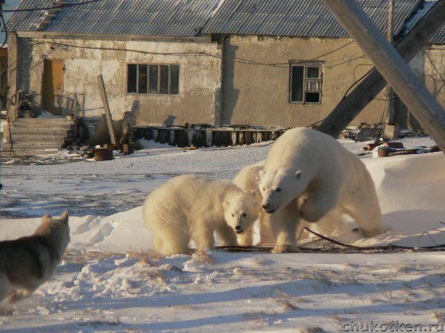 видео чукотка белая медведица
