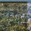 Цветы Чукотки